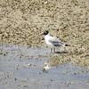 Gull (Franklin's Gull)