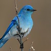 Mountain Bluebird male