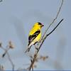 Finch (American Goldfinch)