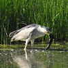 Heron (Black crowned Night Heron)