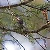 Hummingbird (Rufous Hummingbird)