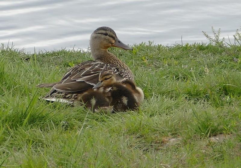 Mallard (female) and ducklings