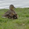 Mallard (female) and ducklings