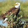 Eagle (Bald Eagle)