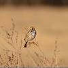 Sparrow (Savanah)