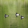 Duck (Ring necked Duck)