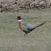 Pheasant (Ring Necked Pheasant)