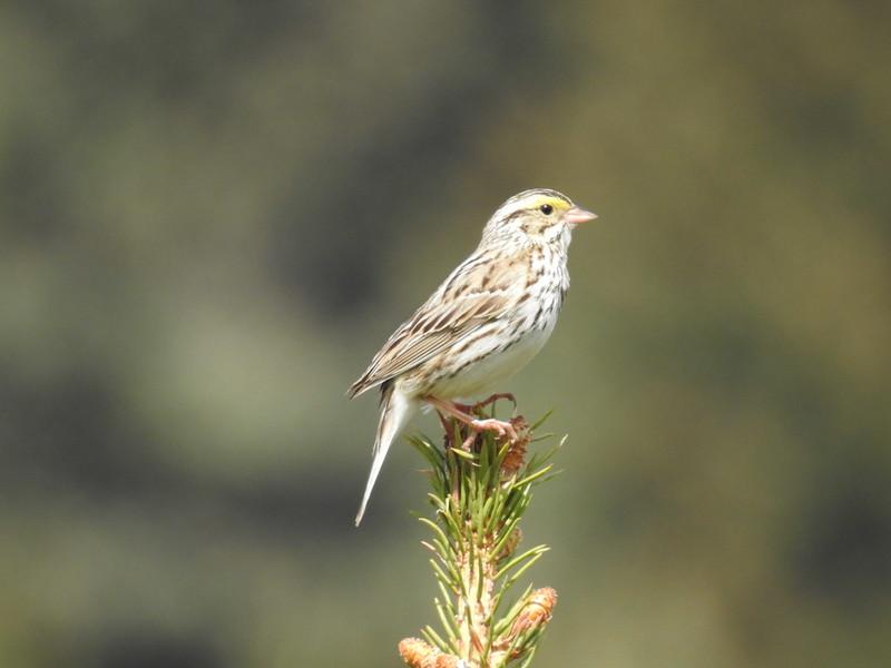 Sparrow (Savannah Sparrow)