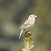 Sparrow (Savannah Sparrow)
