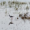 Stlit (Black Necked Stilt)