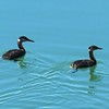 Grebe (Red Necked Grebe) pair
