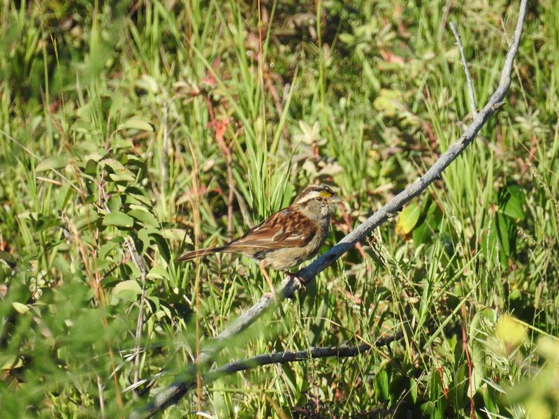 Sparrow (White Throated Sparrow)