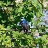Swalllow  (Tree Swallow)