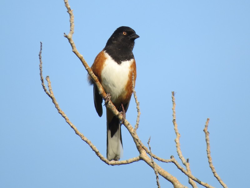 Towhee (Spotted Towhee)