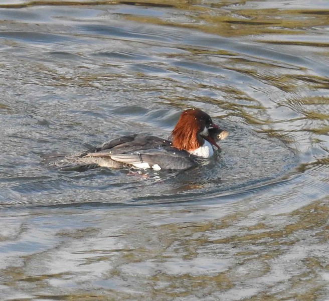 Merganser ( female common) with lunch (fish)