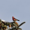 Crossbill (White Winged Crossbill)
