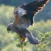 Hawk (swainsons's Hawk)