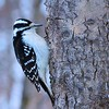 Woodpecker  (Hairy female)