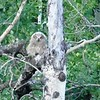Owl (Great Horned Owl) (juvenile)
