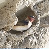 Swallow (Cliff Swallow)