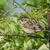 Sparrow (Clay Coloured Sparrow)