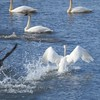 Swans (Trumpeter Swans)