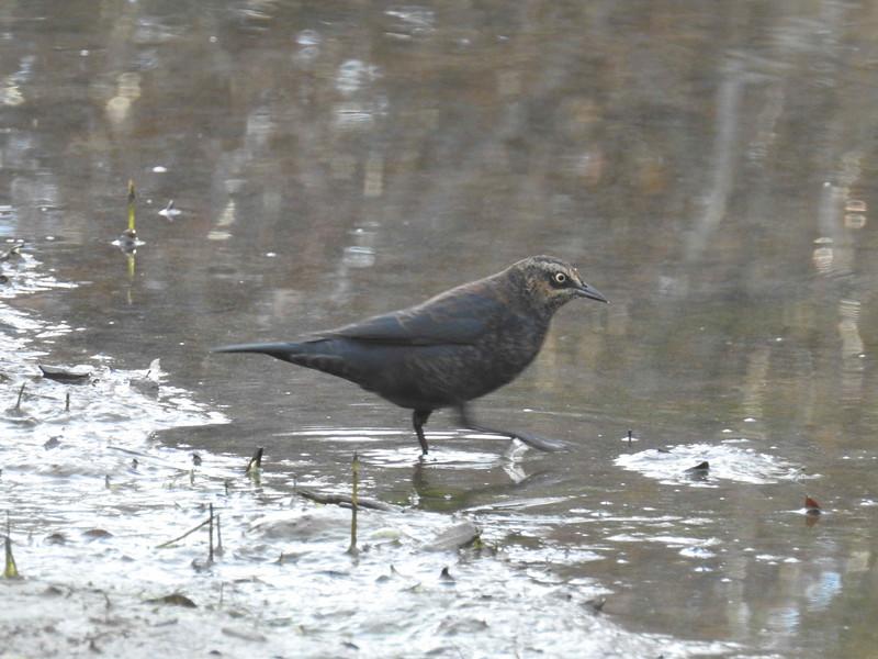 Blackbird (rusty)