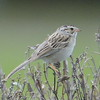 Clay Coloured Sparrow