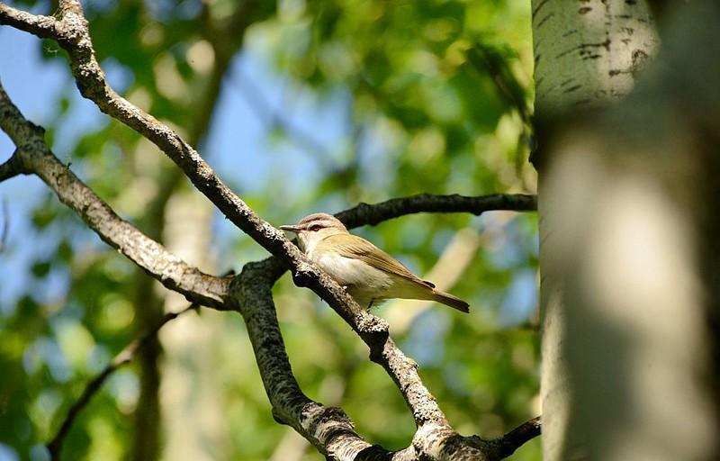 Warbler (Tennessee Warbler)