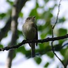 Flycatcher (Least Flycatcher)