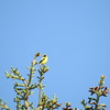 Finch (American Goldfinch) (male)