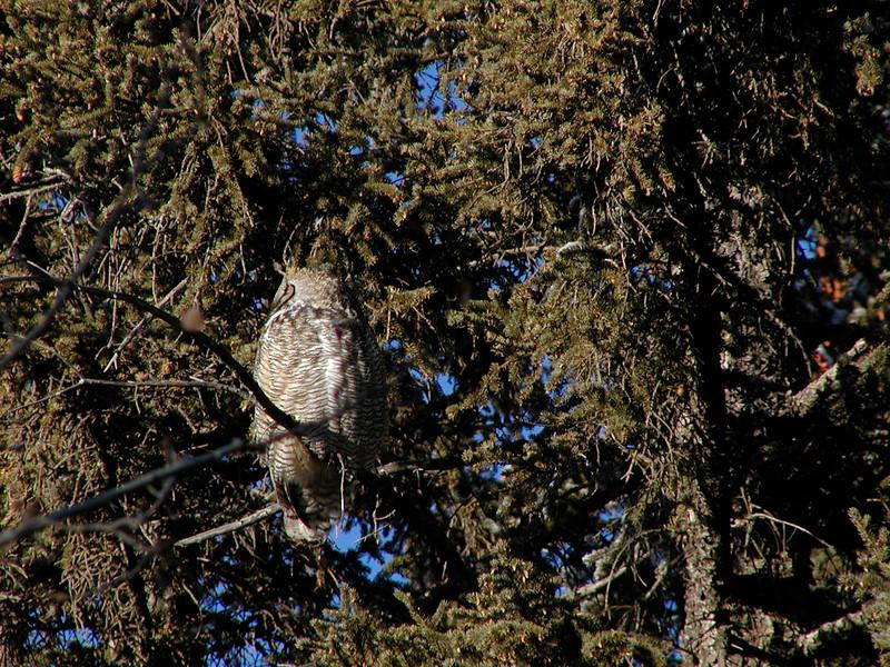 Owl (Great Horned Owl)