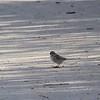 Sparrow (American Tree)