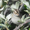Sparrow (Clay Coloured Sparrow)