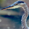 Heron (Great Blue Heron)