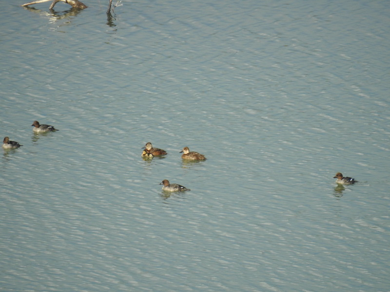 Duck (Ring necked Duck) w Ducklings