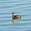 Grebe Red (Necked)