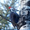 Woodpecker (Pilated)