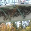Swallow (Cliff Swallow)nests under the footbridge