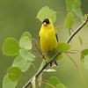 Finch (American Goldfinch)  (Male)