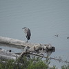 Heron (Great Blue Heron) juvenile