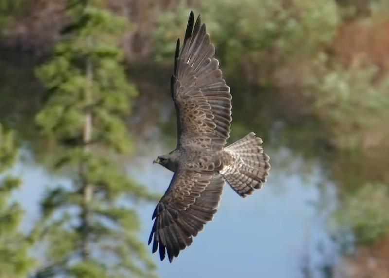 Hawk (Swainson's Hawk)