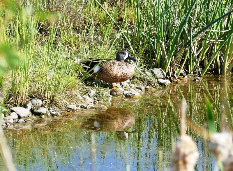 Teal (Blue Winged Teal)