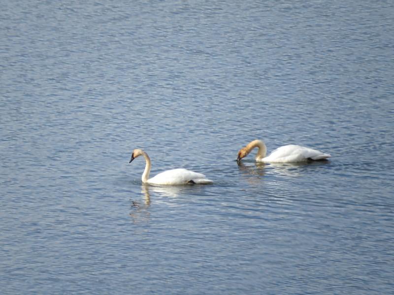 Swans (Trumpeter Swans)