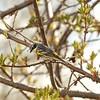 Warbler (Yellow Rumped)
