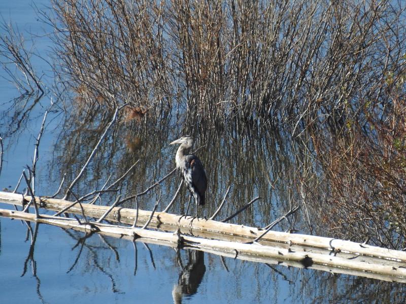 Heron (Great Blue Heron) Juvenile