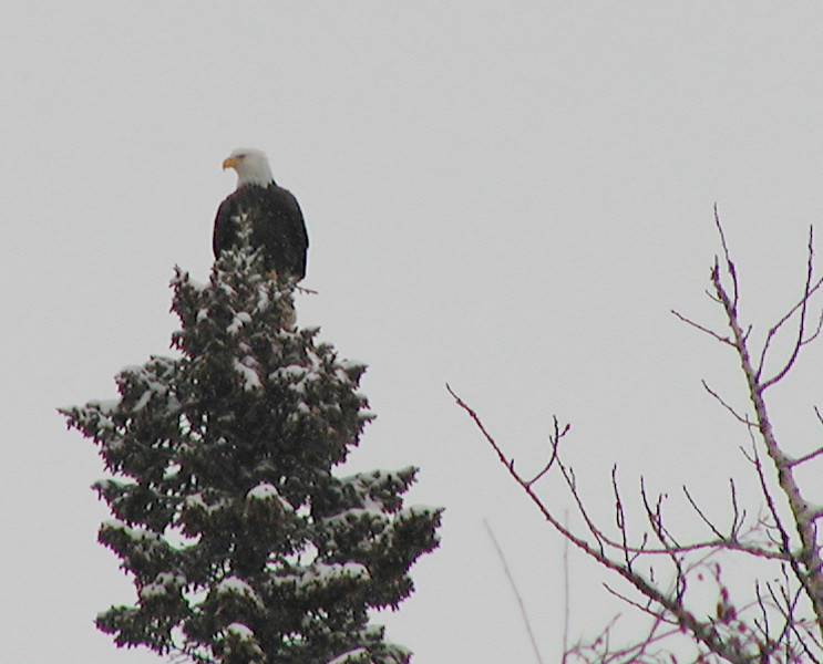 Eagle (Bald Eagle) Circa winter 2001