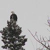 Eagle (Bald Eagle) Circa winter 2001
