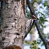Woodpecker (Yellow bellied Sapsucker)