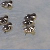 Goldenyeye (Common Goldeneye Ducklings)